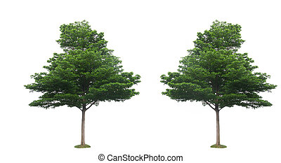 Two green tree isolated on the white backgrounds