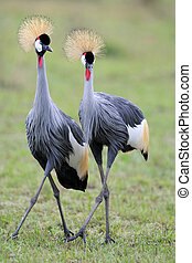 Two Grey Crowned Cranes at courtship.