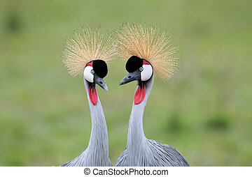 Two Grey Crowned-Cranes.