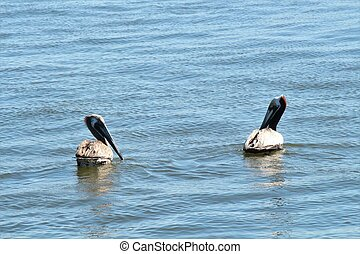 Two grey pelicans floating on the water