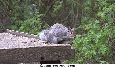 Two grey squirrels on a bird table.