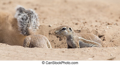 Two Ground Squirrels looking for food in dry Kalahari sand artistic conversion