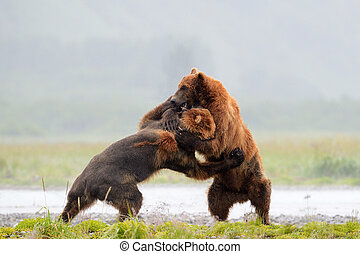 Two Grozzly Bears fighting