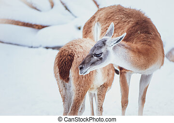 Two Guanacos, mother and baby on a natural winter background, portrait