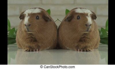 Two guinea pigs talk as announcers on television humor stock...