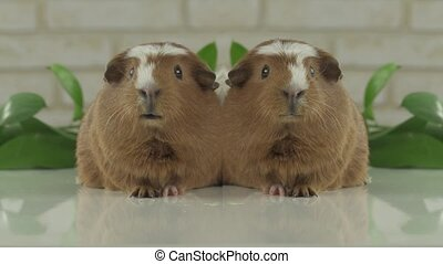 Two guinea pigs talk as announcers on television humor
