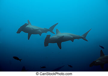 Two hammerhead sharks swimming in the deep blue waters of the ocean