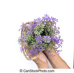 Two hand is holding purple flower bucket isolated on white