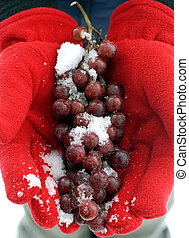 Ice Wine Grapes - Two Hands Wearing Red Gloves Holding Ice...