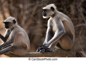 Two Hanuman langurs sitting on sunny branch