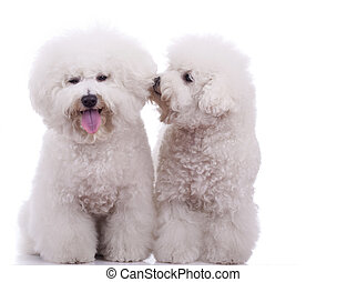two happy bichon frise dogs, on a white background - one telling to the other something at it's ear