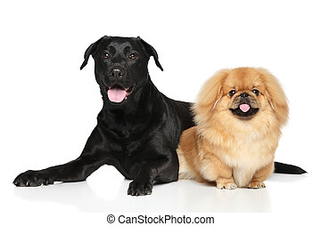 Two Happy dogs in front of white background