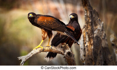 Two harris hawks perched on branch up close parabuteo ...