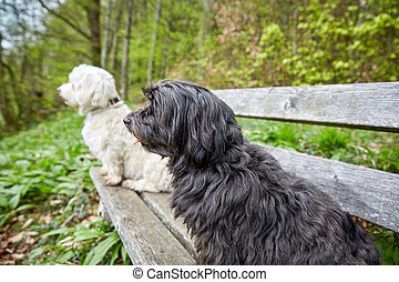 Two havenese dogs sitting on a bench looking far