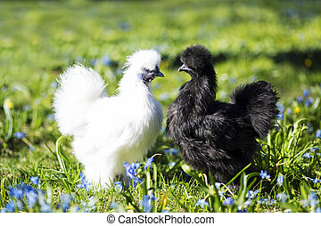 Two hen staring at each other - White chiken in front of the...