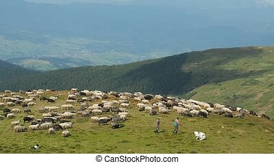 Two herdmen driving a herd of sheep down the mountain...