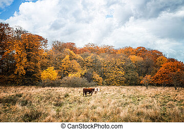 Two Hereford cows on a meadow in the fall