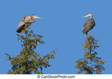 Two Heron On Top of Pine Trees - A pair of herons look at...