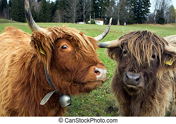 highland cows - two highland cows watching