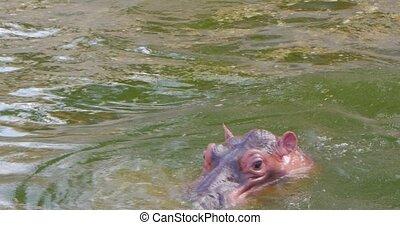 Two hippopotamus in water, wild hippos flock in zoo, danger animals close up