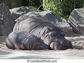 Two hippos, mother and child in a zoo