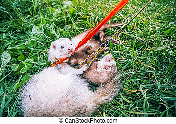 Two home ferrets on leash play in green grass