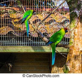 two horned parakeets sitting on a tree branch in the aviary, parrots from new caledonia, threatened bird specie with vulnerable status