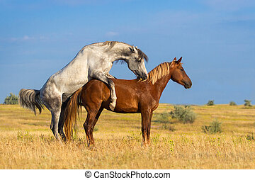 Grey and red horse mating in the field