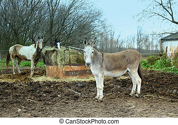 Two horses and donkey eating hay