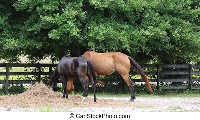 Two horses eating dry hay at the pasture - Horses grazing in...