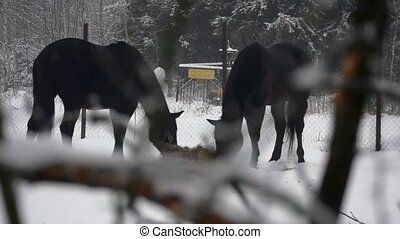 Two horses eating hay in winter
