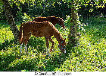 Two horses graze in the meadow under the trees. The nearest animal bent its head to the ground. The second horse looks forward. Sunny summer background with bay horses.