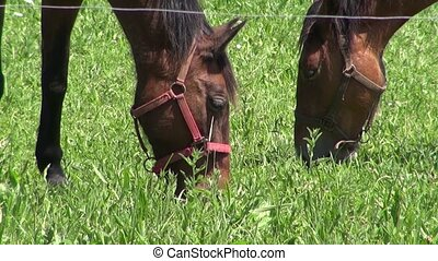 two horses grazing grass - horses grazing on green field...