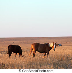 Two horses grazing in evening pasture