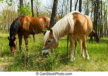 Two horses grazing in the forest.