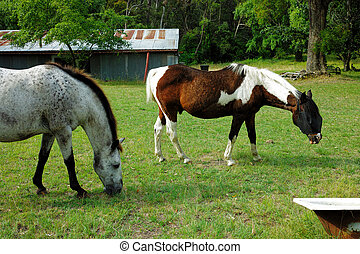 Two horses grazing on field