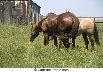 Two Horses Grazing on Grass