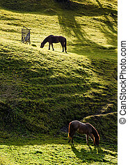 two horses grazing on the gassy hillside - two horses...