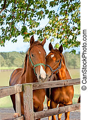 two horses in paddock - Closeup of the head of a horse on...