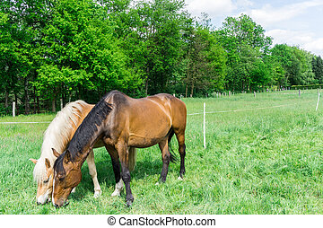 Two horses on a meadow while browsing