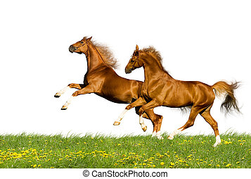 Two horses on white background - Two chestnut horses runs on...