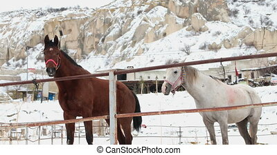 Two horses standing on snow - White and brown horses in the...