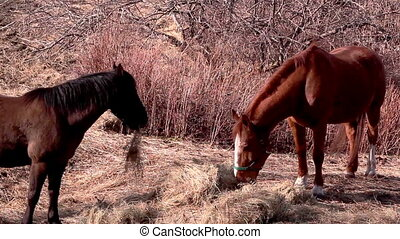 Two horses standing while eating