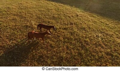 Two horses walking on grass. Top view of brown horses. Pair...