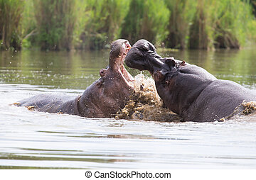 Two huge male hippos fight in water for best territory - Two...