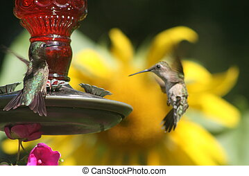 Two hummingbirds, one in mid flight approaching feeder with colorful garden in the background.