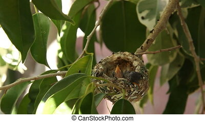 Two Hummingbird Baby Fledgelings Sleeping in their Nest