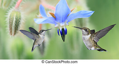 Two Hummingbirds - Hummingbird (archilochus colubris) in...