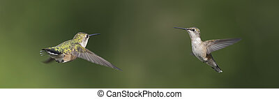 Two Hummingbirds Ready to Rumble