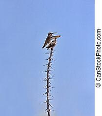 Two hummingbirds seek same ocotillo perch